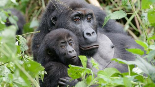 Natuur op 2: De gorillafamilie en ik