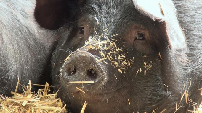Afbeelding van aflevering: 2Doc: Trouwen met het varken Jopie
