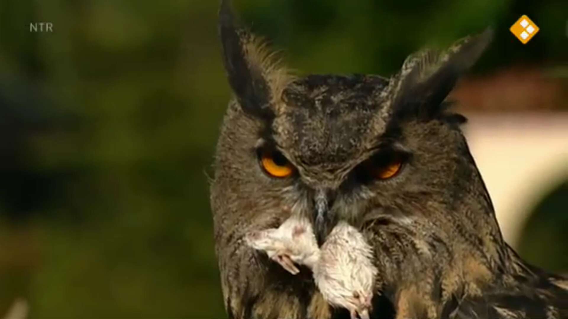 Citaten Over Uilen : Schooltv nieuws uit de natuur uilen en muizen