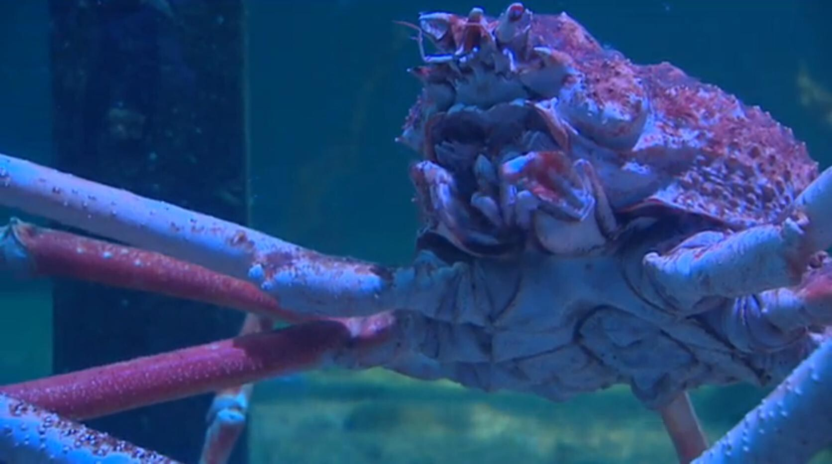 Schooltv wat is de grootste krab van de wereld de reuzenspinkrab - Thuis schommelstoel van de wereld ...