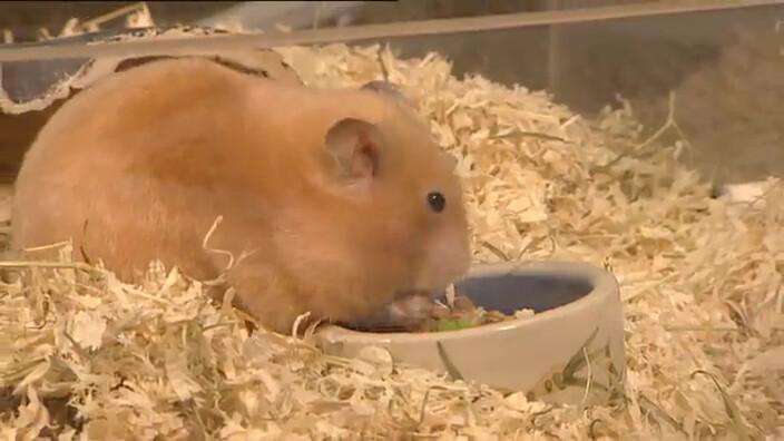 Schooltv: Wat is hamsteren? - Voedsel verzamelen