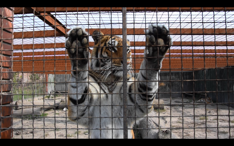 De vlucht terug en tijgers in de polder