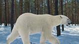 De evolutie van de ijsbeer: Van bruine beer tot ijsbeer