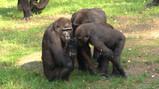 Pesten bij gorilla's