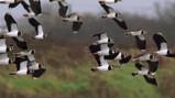 Vogelbeheer in de Oostvaardersplassen: Werken aan een vogelparadijs