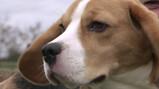Kunnen honden corona ruiken bij mensen?: Honden als coronatest