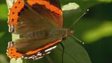Vlinders hebben een slurf