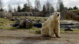 IJsberen voeren