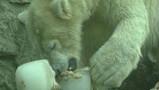 Zorgen voor een ijsbeer