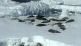 Voortplanting van zeehonden