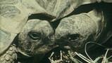 Voortplanting van een landschildpad