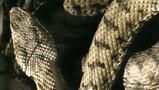 De paring van een adder