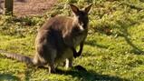 Hoe springt een kangoeroe?