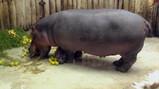 De huid van een nijlpaard