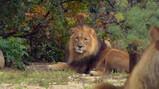 Hoe jaagt een leeuw?