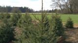 Hoe worden kerstbomen gekweekt?