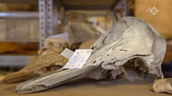 Vroege Vogels in de klas: Bijvangst voor het museum