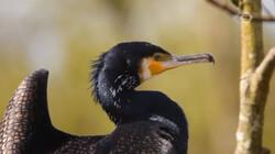 Vroege Vogels in de klas: De aalscholver in het Naardermeer