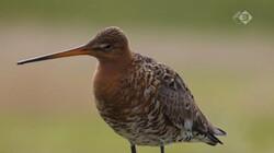 Vroege Vogels in de klas: De tureluur