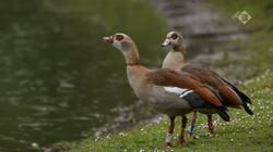 Vroege Vogels in de klas: Nijlganzen: exoten in Nederland