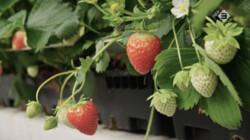 Keuringsdienst van Waarde in de klas: Aardbeien