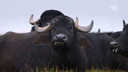 Vroege Vogels in de klas: Waterbuffels in Nederland