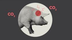 Hoe worden varkens geslacht?: Van stal tot slachthuis