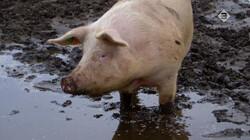 Keuringsdienst van Waarde in de klas: Vlees