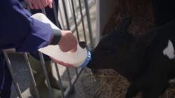 Waarom worden kalfjes bij hun moeder weggehaald?: Eerst moedermelk, dan kunstmelk