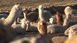 Hoe maak je alpacawol?: Scheren, spinnen en verven
