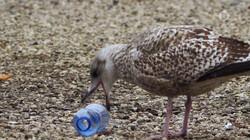 Vroege Vogels in de klas : Zilvermeeuwen in de stad