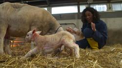 Hoe wordt een lammetje geboren?: Een handje helpen bij de bevalling van een schaap