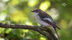 Vroege Vogels in de klas : De bonte vliegenvanger