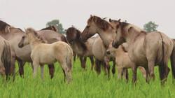 Konikpaarden: Wilde paarden in natuurgebied de Oostvaardersplassen