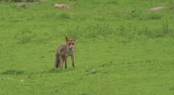 De vos: Een vossenburcht op de grasvlakte