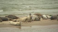 Zeehonden: Grijze en gewone zeehonden op de zandplaat