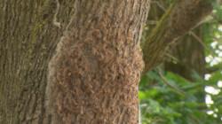 De eikenprocessierups: Een rups met irriterende haartjes