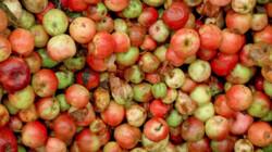 Wat voor appels zitten er in appelsap?: Honderd soorten gedeukte appels
