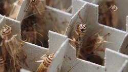 Hoe worden krekels gekweekt?: Voedzame insecten als bron van eiwitten