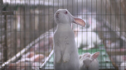 EenVandaag in de klas: Protest tegen het fokken van konijnen