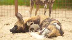 Hoe worden Afrikaanse wilde honden gecastreerd?: Rachel helpt mee bij castratie