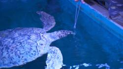 Wat eet een schildpad?: Elbert voert een schildpad van 1,5 meter