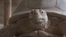 Poep van een sporenschildpad: Drol onderzoeken op ziektes