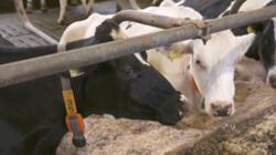 Hoe check je een koe?: Rachel loopt mee op een leerboerderij