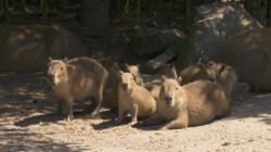 Jonge capibara's: Op kraambezoek