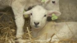 De geboorte van lammetjes: Rachel helpt bij de bevalling