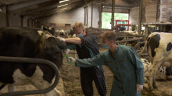 Meelopen met een veearts: Kalfjes onthoornen, bloedtappen bij schapen en koeien inenten