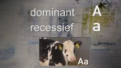 Erfelijke eigenschappen selecteren: Koeien fokken die veel melk opleveren