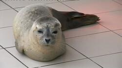 De voors en tegens van zeehondenopvang: Is het redden van zeehondjes wel goed voor de natuur?