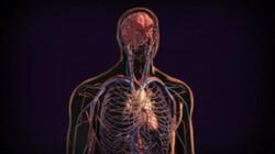 Bloedsomloop: Je hart en bloedvaten vormen samen de bloedsomloop